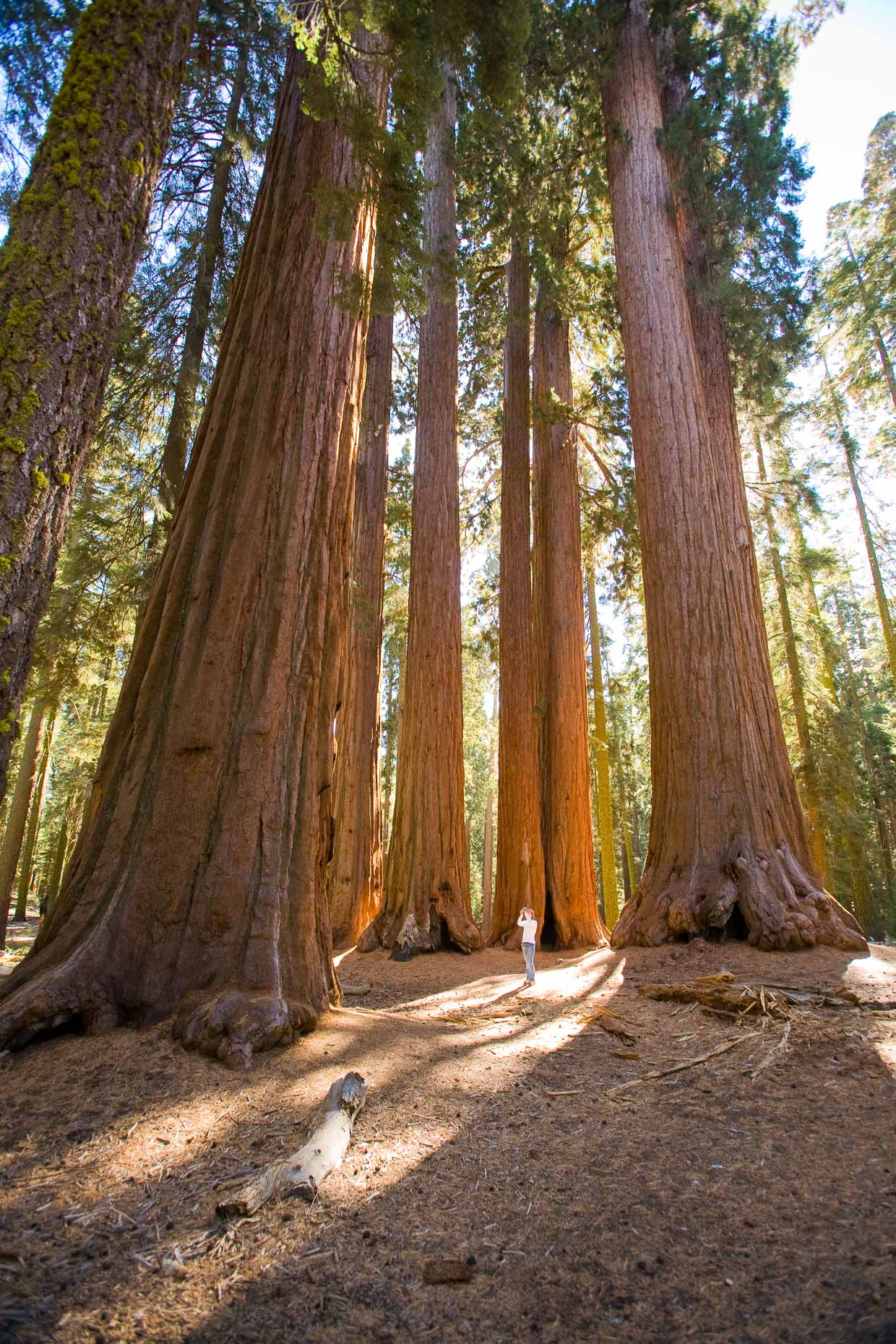 Woman female taking photograph with camera of large Sequoia redwood trees in grove in Sequoia National Park, California, by David Zaitz