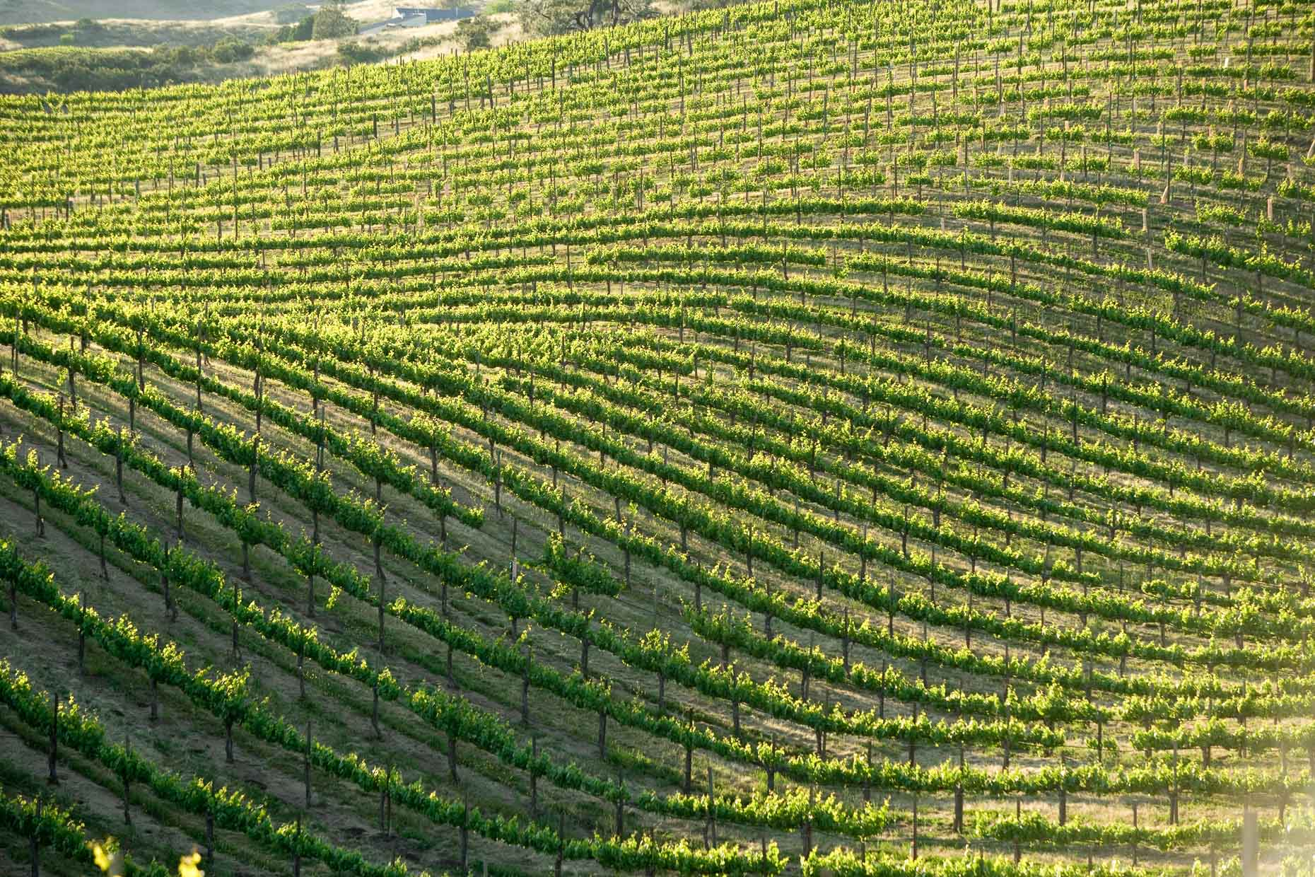 Rows of grape vines in vineyard in Soledad, California by David Zaitz