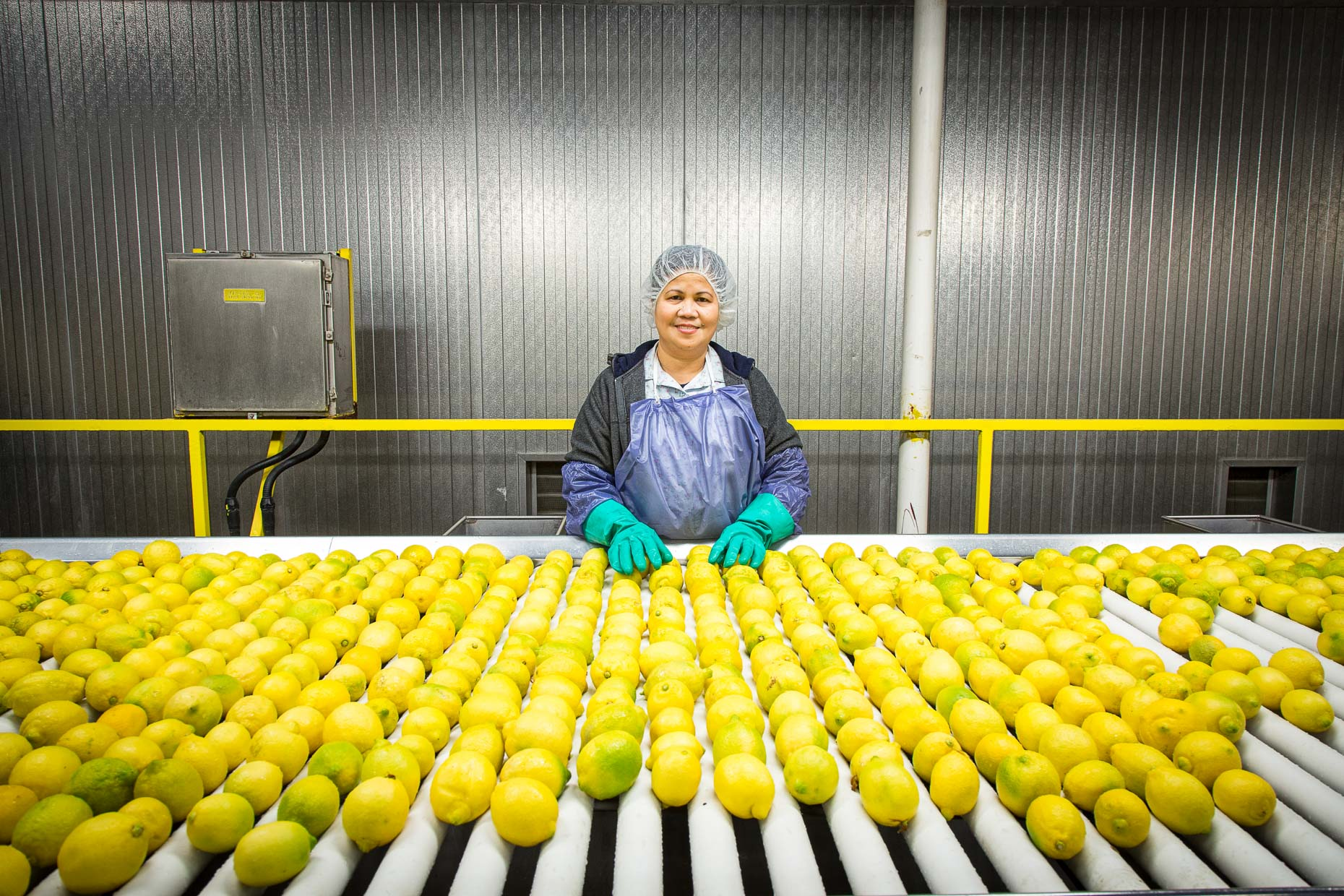 Woman in citrus processing plant sorting lemons on conveyer belt. Industrial, agriculture. David Zaitz Photography.